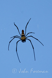 Giant wood spider, Sungei Buloh