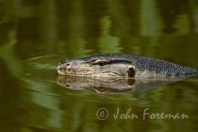 Monitor Lizard, Sungei Buloh