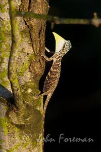 Common Gliding Lizard, Singapore