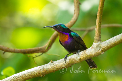 Copper-throated sunbird, Sungei Buloh