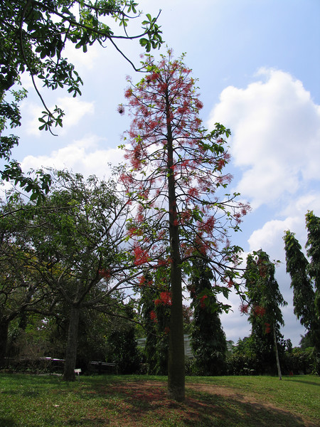 "Australian ""fire tree\"" with bright red blossom"