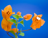 Orange Bougainvillea<br /> Near Sultan Mosque - Singapore 2006<br /> © WEOttinger, The Wildflower Hunter - All rights reserved<br /> For educational use only - this image, or derivative works, can not be used, published, distributed or sold without written permission of the owner.