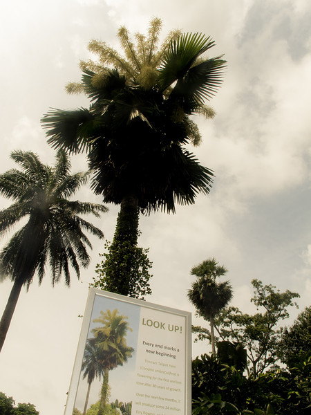 'Every end marks a new beginning' - The flowering of the Talipot Palms which occur once in 80 years.