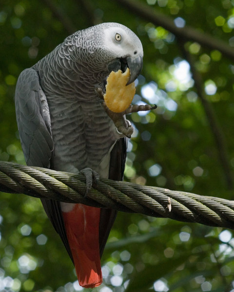 African Grey Parrot<br /> Jurong Bird Park, Singapore Nov 2006<br /> © WEOttinger, The Wildflower Hunter - All rights reserved<br /> For educational use only - this image, or derivative works, can not be used, published, distributed or sold without written permission of the owner.