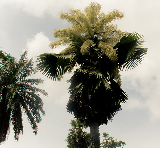 The flowering of the Talipot Palms in Singapore's Botanical Gardens. The palms flower once in 80 years.