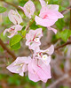 Pink Bougainvillea<br /> Near Sultan Mosque - Singapore 2006<br /> © WEOttinger, The Wildflower Hunter - All rights reserved<br /> For educational use only - this image, or derivative works, can not be used, published, distributed or sold without written permission of the owner.