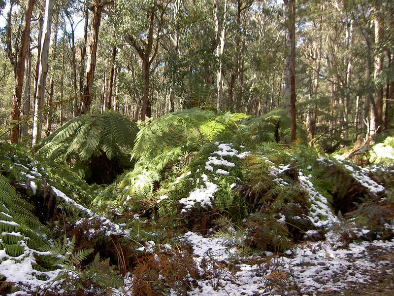 Snow near Bombala on tree ferns