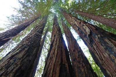Looking up into the redwoods