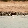 Red Deer on Rum having a paddle in the sea