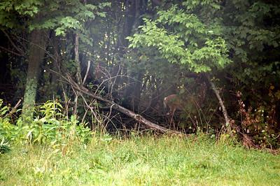Deer on Skyline Drive
