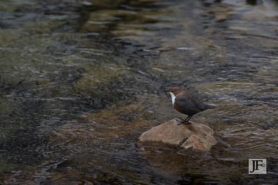 White-throated Dipper, Slovenia