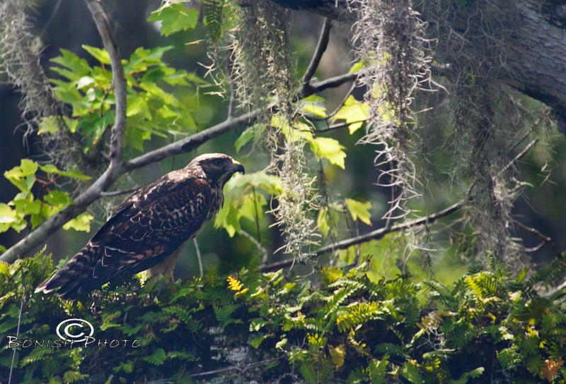 Hawk we spotted along the Santa Fe River - Photo by Pat Bonish
