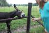 Feeding the Donkey - Photo by Pat Bonish