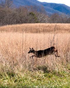 Whitetail deer, Cades Cove