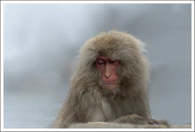 This may be the Grandpa monkey again.