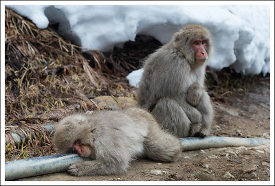 The pipes that carry the water from the well are warm, so we often saw monkeys hugging them.