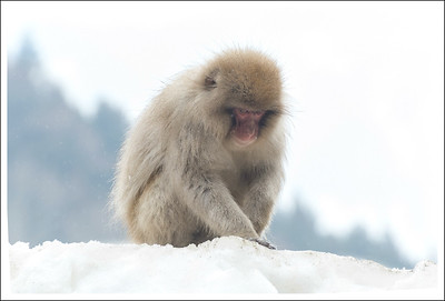 """I think I saw some seeds right here.  The staff at the park scatter barley, brown rice and other seeds to encourage the monkeys to congregate for the tourists.  There are signs saying """"No selfie sticks, no flash, and no food!"""""""