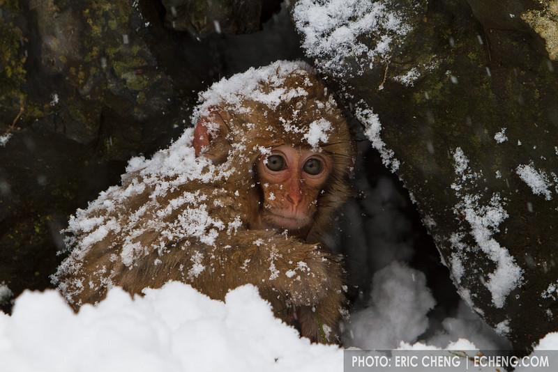 A baby snow monkey forages for food (Japanese macaque, Macaca fuscata). Jigokudani Yaen-Koen near Shibu Onsen, Japan.