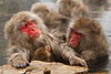 A snow monkey is groomed as she holds her baby in a hot spring (Japanese macaque, Macaca fuscata). Jigokudani Yaen-Koen near Shibu Onsen, Japan.