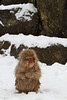 A snow monkey warms her hands (Japanese macaque, Macaca fuscata). Jigokudani Yaen-Koen near Shibu Onsen, Japan.