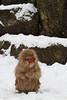 A snow monkey warms her hands (Japanese macaque, Macaca fuscata). Jigokudani Yaen-Koen near Shibu Onsen, Japan.