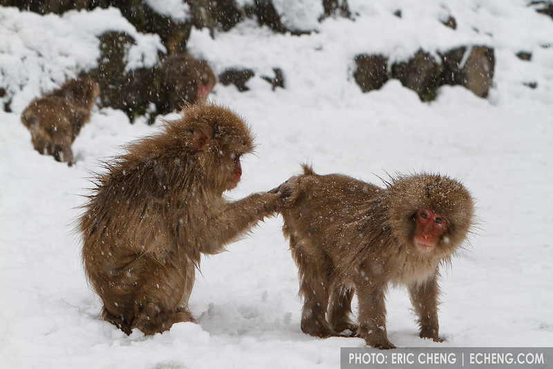 Snow monkey grooming action in the snow (Japanese macaque, Macaca fuscata). Jigokudani Yaen-Koen near Shibu Onsen, Japan.