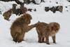 Snow monkey grooming action in the snow (Japanese macaque, Macaca fuscata). Jigokudani Yaen-Koen near Shibu Onsen, Japan.