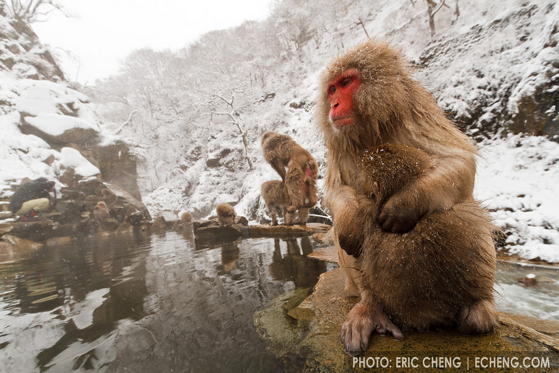 A mother and baby snow monkey on the edge of a hot spring. Mating snow monkeys in the background. (Japanese macaque, Macaca fuscata). Jigokudani Yaen-Koen near Shibu Onsen, Japan.