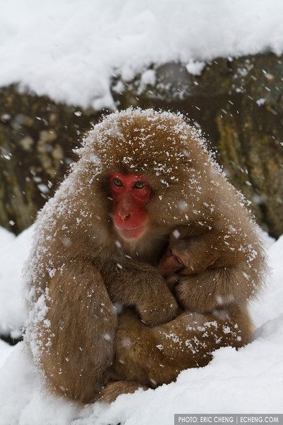 Snow monkey mother protects her baby (Japanese macaque, Macaca fuscata). Jigokudani Yaen-Koen near Shibu Onsen, Japan.