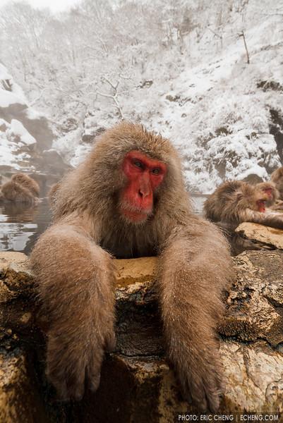 A snow monkey relaxes in a hot spring (Japanese macaque, Macaca fuscata). Jigokudani Yaen-Koen near Shibu Onsen, Japan.