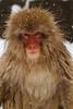 Snow monkey (Japanese macaque, Macaca fuscata). Jigokudani Yaen-Koen near Shibu Onsen, Japan.