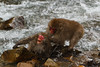 Snow monkey battle near the river (Japanese macaque, Macaca fuscata). Jigokudani Yaen-Koen near Shibu Onsen, Japan.