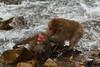 Snow monkey battle near the river (Japanese macaque, Macaca fuscata). Jigokudani Yaen-Koen near Shibu Onsen, Japan.