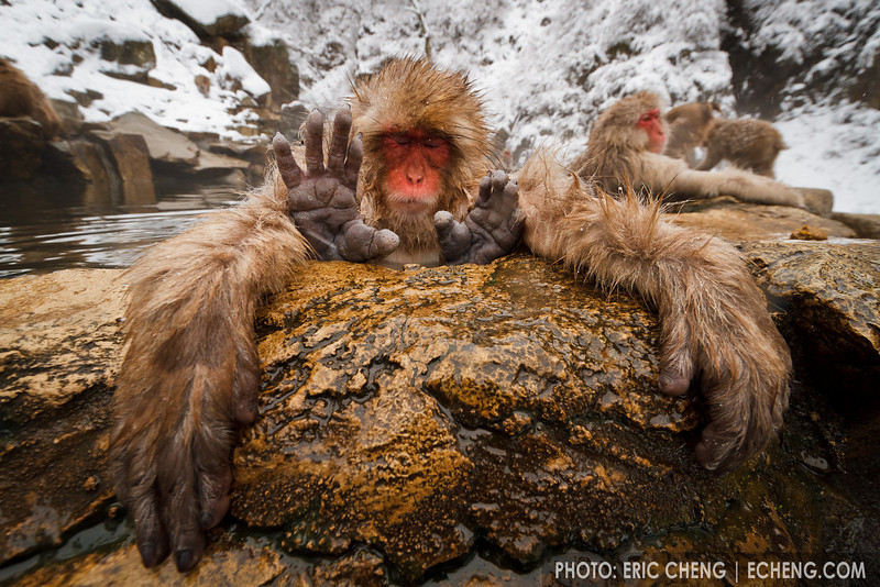 A snow monkey relaxes in a hot spring with all four limbs out of the water(Japanese macaque, Macaca fuscata). Jigokudani Yaen-Koen near Shibu Onsen, Japan.