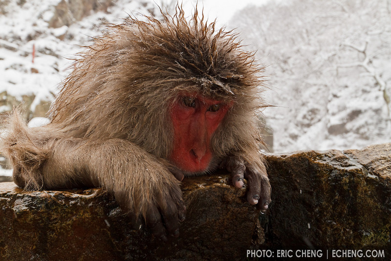 A snow monkey stares over the edge of a hot spring (Japanese macaque, Macaca fuscata). Jigokudani Yaen-Koen near Shibu Onsen, Japan.