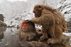 Grooming snow monkeys in a hot spring (Japanese macaque, Macaca fuscata). Jigokudani Yaen-Koen near Shibu Onsen, Japan.