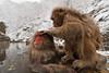 Grooming snow monkeys in a hot spring (Japanese macaque, Macaca fuscata). Jigokudani Yaen-Koen near Shibu Onsen, Japan.