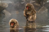 Snow monkeys in a hot spring (Japanese macaque, Macaca fuscata). Jigokudani Yaen-Koen near Shibu Onsen, Japan.