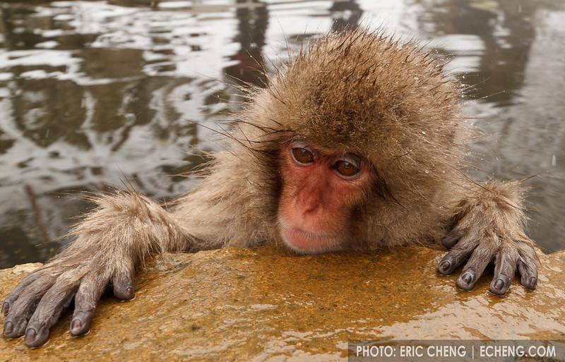 A baby snow monkey in a hot spring (Japanese macaque, Macaca fuscata). Jigokudani Yaen-Koen near Shibu Onsen, Japan.
