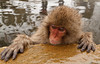 A baby snow monkey in a hot spring (Japanese macaque, Macaca fuscata). Jigokudani Yaen-Koen near Shibu Onsen, Japan.