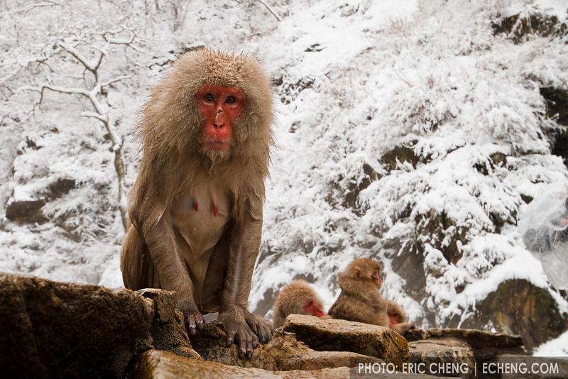 A snow monkey emerges, wet, from a hot spring (Japanese macaque, Macaca fuscata). Jigokudani Yaen-Koen near Shibu Onsen, Japan.