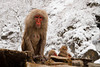A snow monkey emerges, wet, from a hot spring (Japanese macaque, Macaca fuscata). Jigokudani Yaen-Koen near Shibu Onsen, Japan.