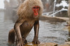 A snow monkey climbs out of the water (Japanese macaque, Macaca fuscata). Jigokudani Yaen-Koen near Shibu Onsen, Japan.