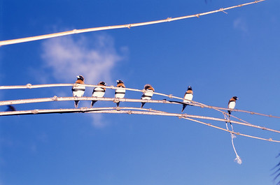 © Joseph Dougherty. All rights reserved.  Society Island finches perched on bamboo.  Cook's Bay, Moorea; Society Islands