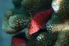 Coral hawkfish (Cirrhitichythys oxycephalus)