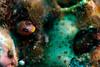 Panamic barnacle blenny (Acantheblemaria hancocki)