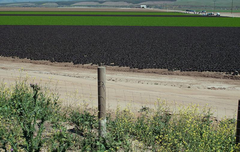 Fluorescent strawberry fields near Santa Maria