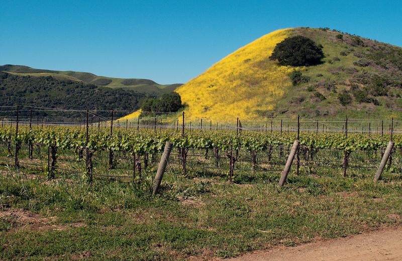 Yellow hillside on Santa Rosa Rd.