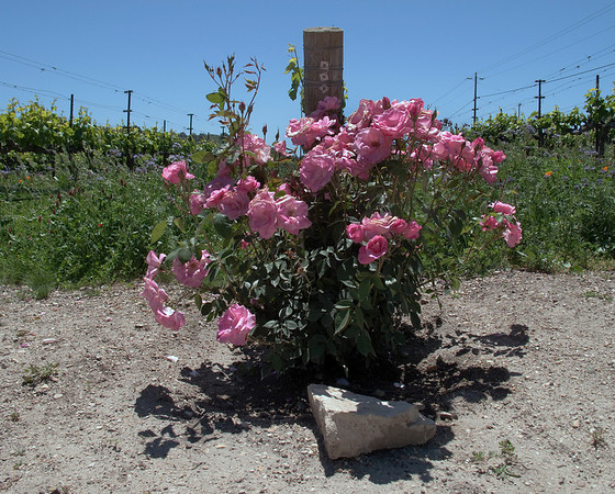 Roses at Fess Parker Winery
