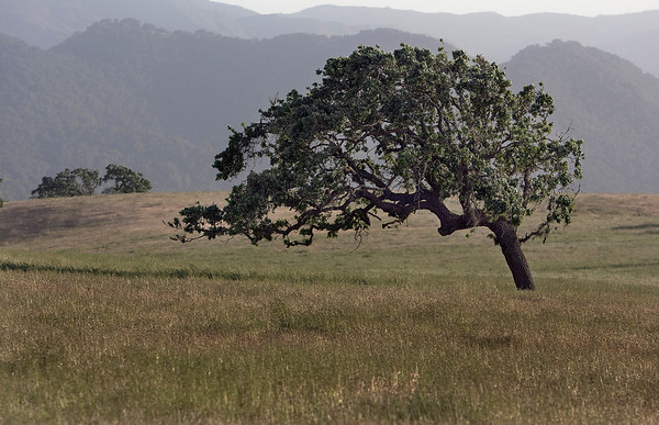 Live oak on Armour Ranch Rd.